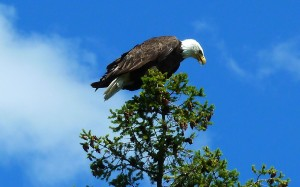 Lake CdA Scenic Byway eagles
